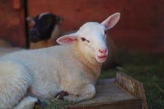 Портрет белых овец в ушах амбара длинных Стоковые Фото