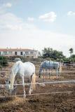 Портрет белых лошадей Стоковое Фото