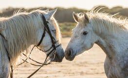 Портрет 2 белых лошадей Camargue camargue de parc регионарное Франция Провансаль Стоковые Изображения