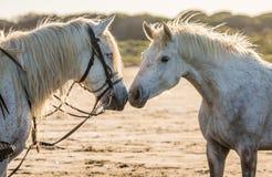 Портрет 2 белых лошадей Camargue camargue de parc регионарное Франция Провансаль Стоковое фото RF