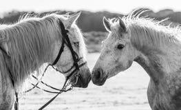 Портрет 2 белых лошадей Camargue camargue de parc регионарное Франция Провансаль Стоковое Фото