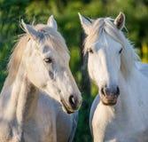 Портрет 2 белых лошадей Camargue camargue de parc регионарное Франция Провансаль Стоковые Фотографии RF