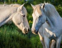 Портрет 2 белых лошадей Camargue camargue de parc регионарное Франция Провансаль Стоковые Изображения RF