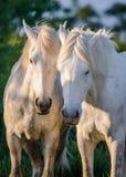 Портрет 2 белых лошадей Camargue camargue de parc регионарное Франция Провансаль Стоковое Изображение