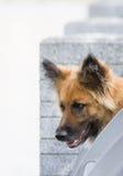 Портрет бельгийского чабана Tervuren Стоковое Фото
