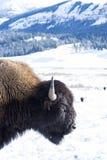 Портрет бизона в снеге Стоковая Фотография RF