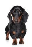 портрет близкого dachshund миниатюрный вверх Стоковые Изображения