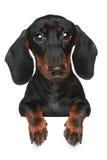 портрет близкого dachshund миниый вверх Стоковая Фотография