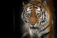 Портрет близко амурского тигра идущей по земле подкрадываясь тихо. Portrait of a close Amur tiger walking on the ground sneaking up quietly in the dark stock photos