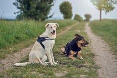 Портрет 2 больших собак Стоковые Фото