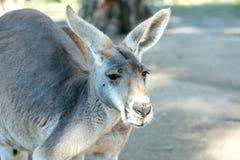 Портрет большого серого кенгуру стоковые фотографии rf