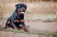 Портрет большой собаки rottweiler Стоковое Изображение RF