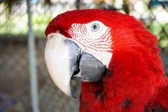 Портрет большого красного попугая Стоковое Фото