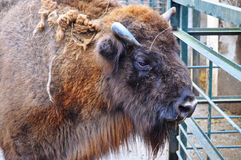 Портрет буйвола Стоковые Изображения