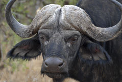 портрет буйвола Стоковая Фотография