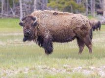 Портрет буйвола Стоковая Фотография RF