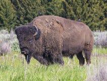 Портрет буйвола Стоковое Изображение