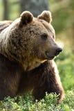Портрет бурого медведя в лесе, серии москитов Стоковые Фото