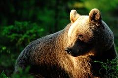 Портрет бурого медведя в лесе Стоковое Изображение