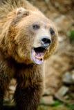 Портрет бурого медведя в лесе Стоковая Фотография RF