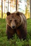 Портрет бурого медведя в лесе Стоковая Фотография