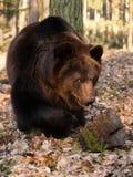 Портрет бурого медведя в лесе - arctos Ursus Стоковые Изображения RF