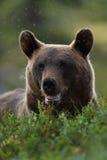 Портрет бурого медведя Сторона медведя Стоковое фото RF