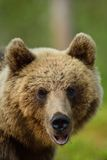 Портрет бурого медведя Стоковые Изображения