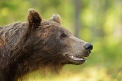Портрет бурого медведя Стоковые Изображения RF