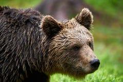 Портрет бурого медведя Стоковая Фотография