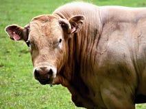 Портрет быка Стоковое Изображение