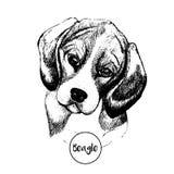 Портрет вектора собаки бигля Нарисованная рукой отечественная иллюстрация собаки белизна изолированная предпосылкой Стоковая Фотография RF