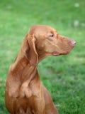 Портрет венгерской Коротк-с волосами указывая собаки стоковые фотографии rf