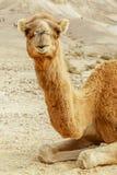 Портрет верблюда в пустыне лета Wilderlife сафари восточное Стоковое Изображение