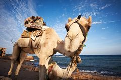 Портрет верблюда на пляже против моря Стоковые Фотографии RF