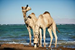 Портрет верблюда на пляже против моря Стоковое фото RF