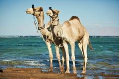 Портрет верблюда на пляже против моря Стоковое Изображение