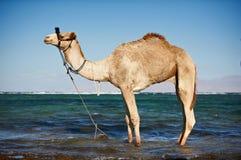 Портрет верблюда на пляже против моря Стоковая Фотография