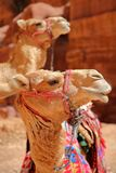 Портрет верблюдов в Petra, Джордана Стоковое Фото