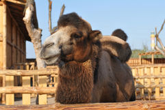 Портрет верблюда смотря камеру Стоковая Фотография RF