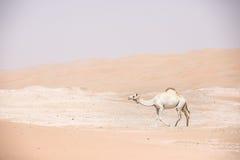 Портрет верблюда в пустыне Стоковые Фотографии RF
