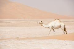 Портрет верблюда в пустыне Стоковые Фото