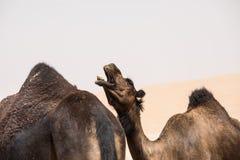 Портрет верблюда в пустыне Стоковое Фото