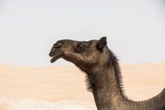 Портрет верблюда в пустыне Стоковое Изображение RF