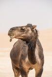 Портрет верблюда в пустыне Стоковые Изображения
