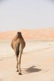Портрет верблюда в пустыне Стоковая Фотография