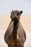 Портрет верблюда в пустыне Стоковое Изображение