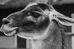 Портрет верблюда в черно-белом Стоковые Изображения