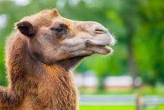 Портрет верблюда головной бортовой Стоковые Изображения