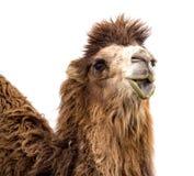 Портрет верблюда на белой предпосылке Стоковое Изображение RF